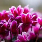 How to Propagate Cyclamen Plants in 2 Simple Ways