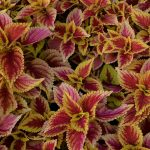 How to Collect Coleus Seeds in 8 Simple Steps