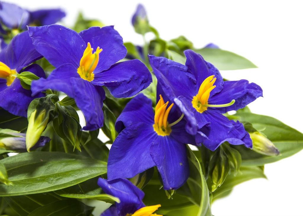 How to Care for Campanula
