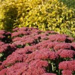How To Transplant Sedum. Best 3-Step Guide