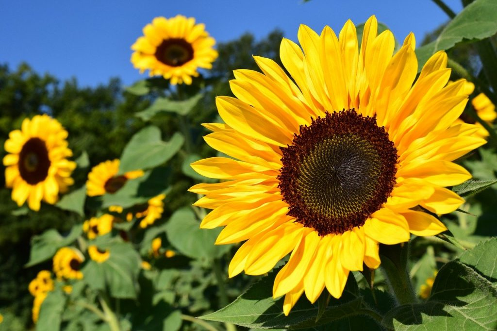 How To Keep Sunflowers Fresh In 2 Easy Steps