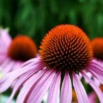 How to Propagate Echinacea from Cuttings in 9 Easy Steps