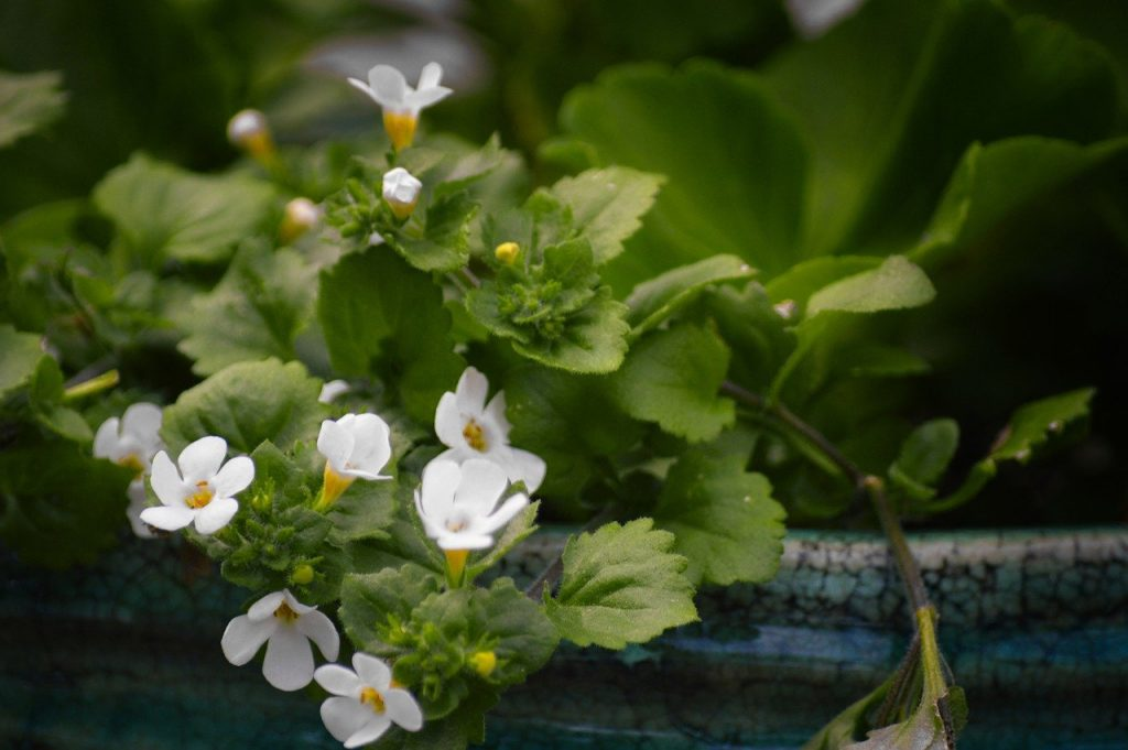 How To Care For Bacopa. 3 Factors For Success