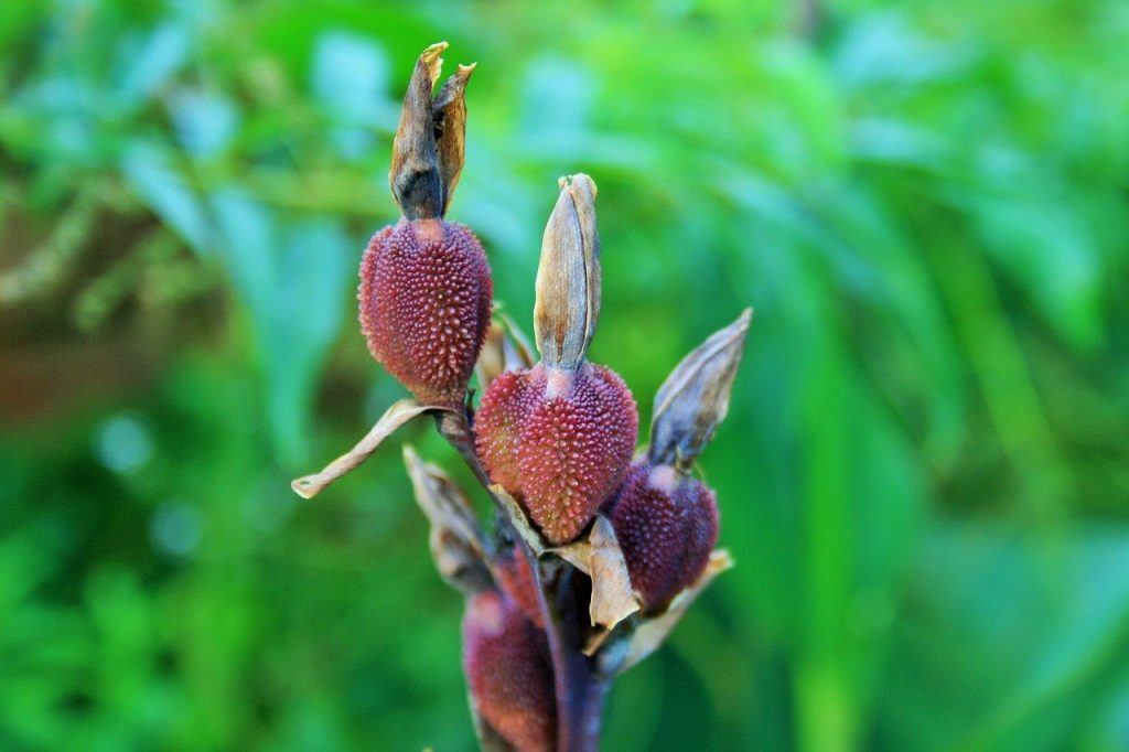 How To Plant Canna Seeds. Best 4-Step Guide