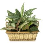 How to Propagate Aglaonema Using 4 Practical Methods