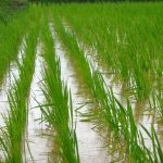 How To Grow Rice Hydroponically Simplified