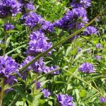 How To Get Rid Of Campanula. 2 Best Methods