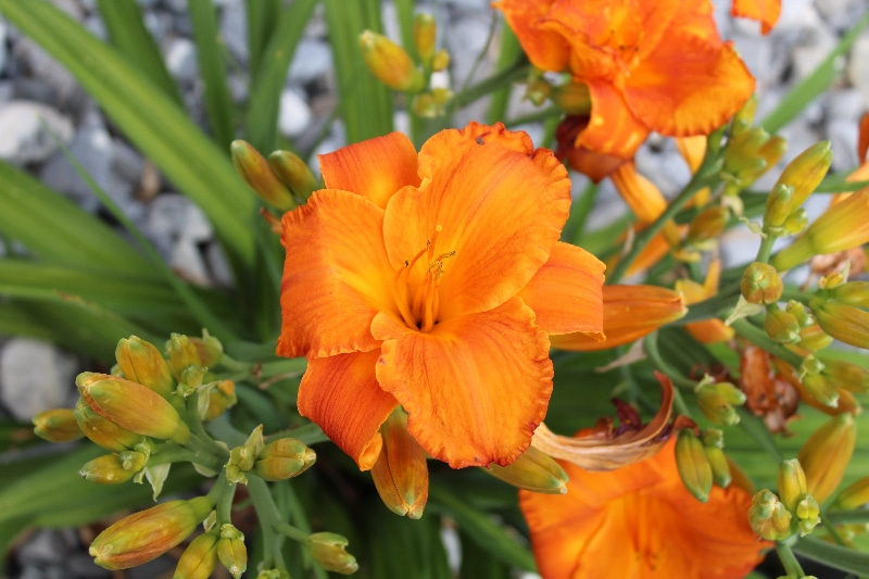 How To Prepare Daylilies For Winter. Best Guide