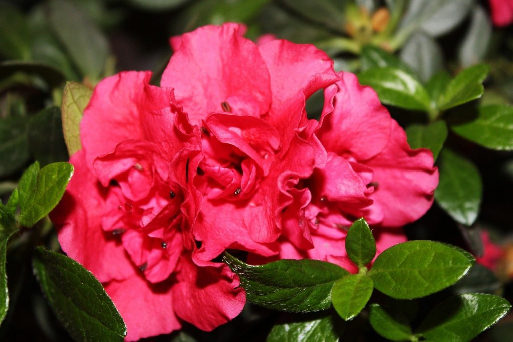 How To Plant Encore Azaleas. Best 4-Step Guide