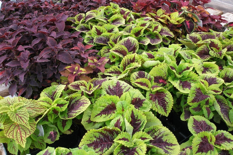 How To Trim Coleus. The Best Technique You Need