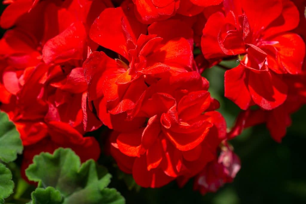 How to Transplant Geraniums the Right Way