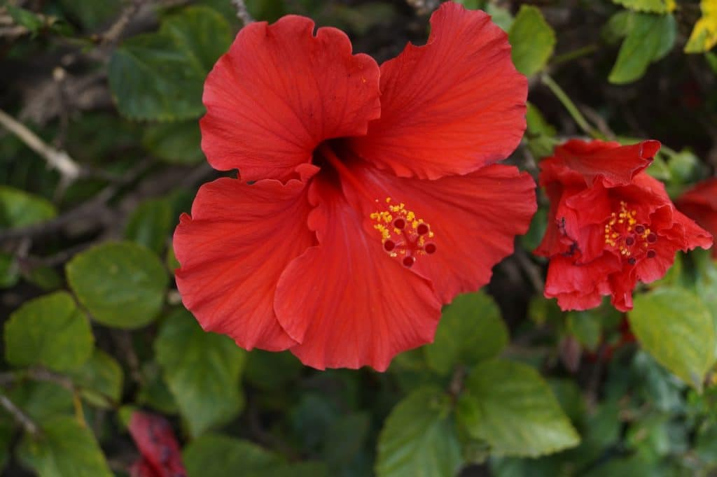 How To Grow Hibiscus From Cuttings In 3 Steps