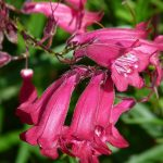 How to Deadhead Penstemon