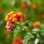 How to Plant Lantana Seeds: A 5-Step Guide