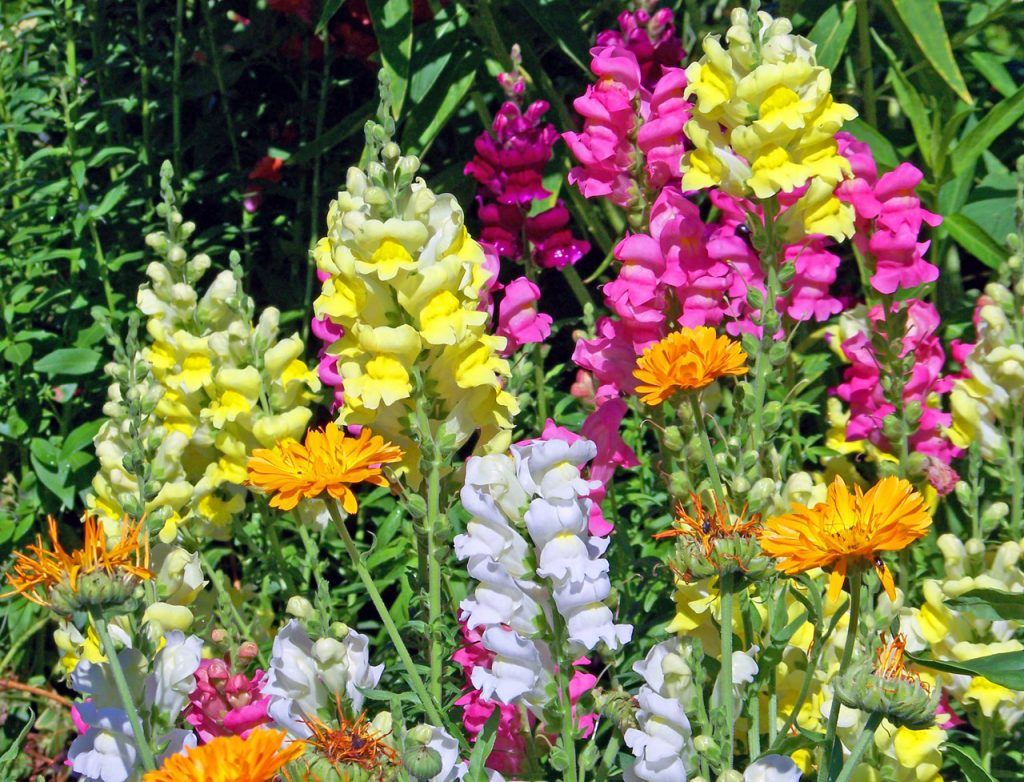 How To Propagate Snapdragons. 3 Best Methods