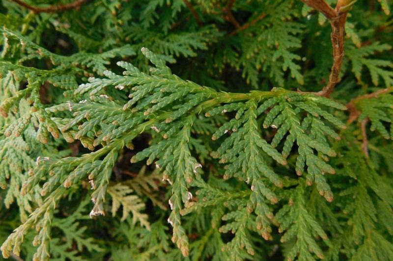 How To Grow Arborvitae From Cuttings Successfully - Krostrade