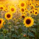 How to Transplant Sunflowers