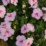 How To Save Impatiens Seeds