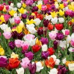 How To Grow Tulips In Florida. Success In 3 Steps