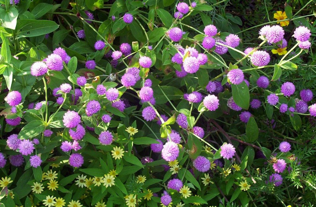 How to Grow Gomphrena in 4 Steps