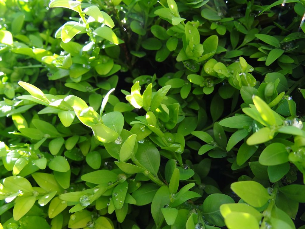 How To Propagate Boxwood From Cuttings in 9 Simple Steps