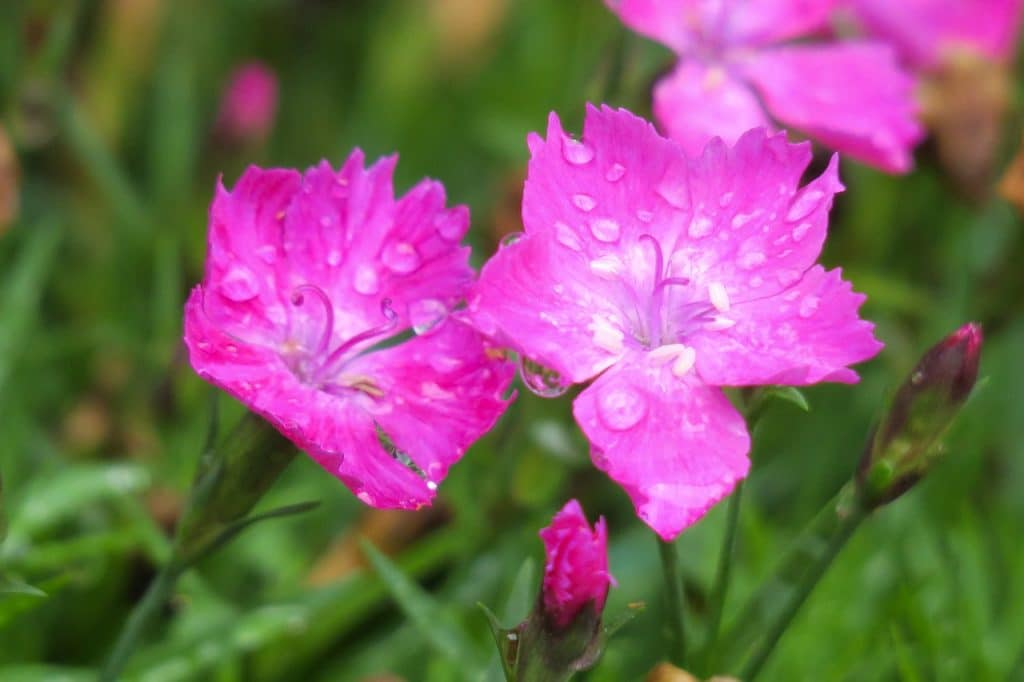 How To Trim Dianthus: A 4-Step Guide
