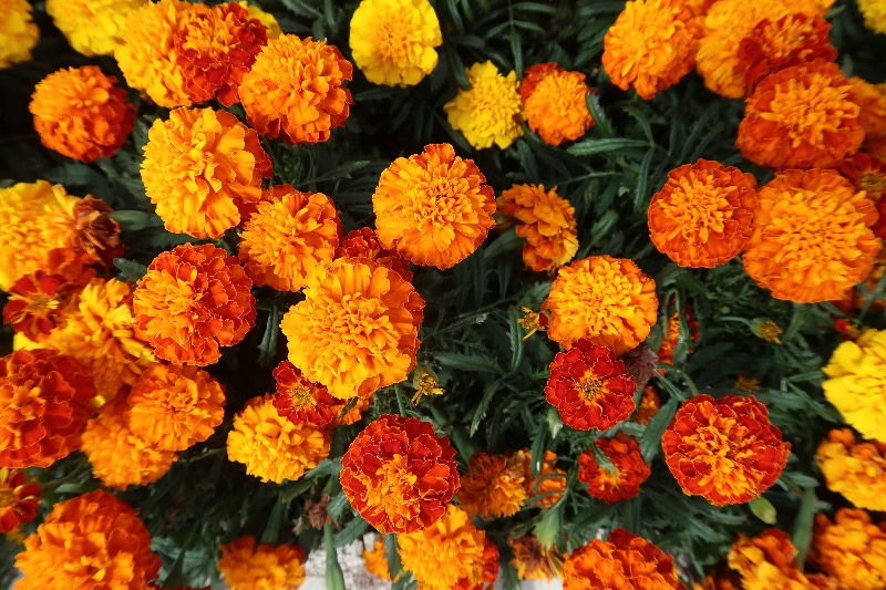 How to Harvest Marigold Flowers and Seeds: Tools And Tips
