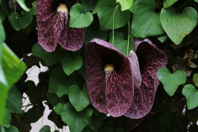 How To Propagate Dutchman's Pipe Vine. 2 Best Ways