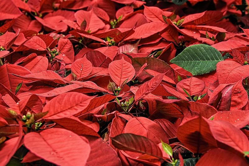 How To Grow Poinsettias From Seed. 3 Easy Steps