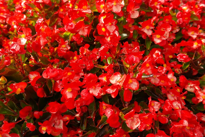 How To Root Begonia. 2 Best Ways