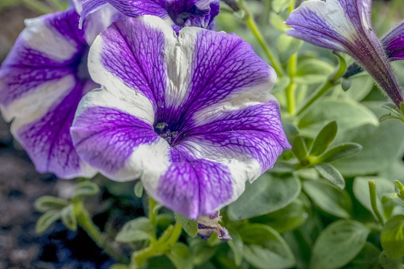 How To Cut Back Petunias. 3 Things To Master