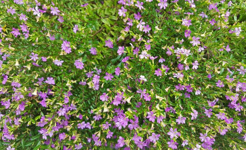 How To Grow Mexican Heather. 3 Steps To Success