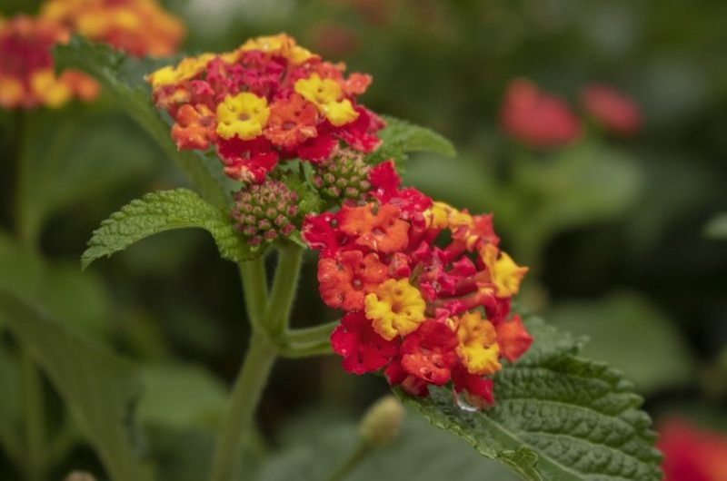 How To Gather Lantana Seeds. 2 Steps For Beginners