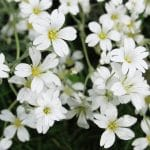 How To Grow Gypsophila. Quick 3-Step Guide