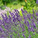 How To Grow Lavender In Arizona