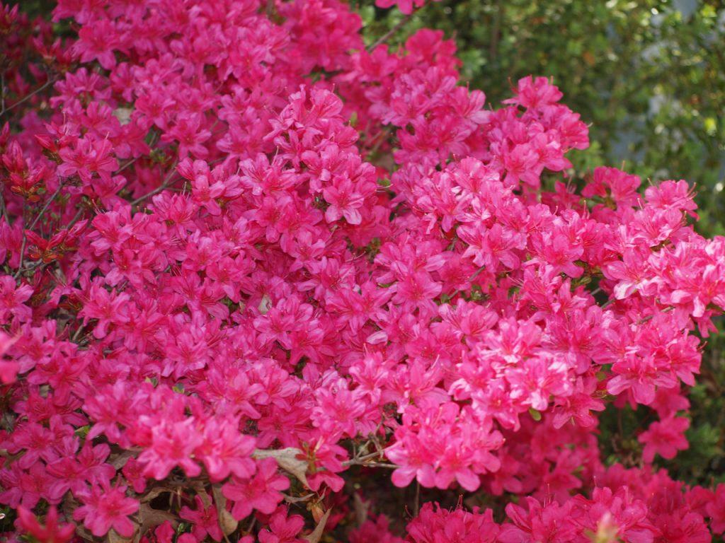 How Long Do Azalea Bushes Bloom?