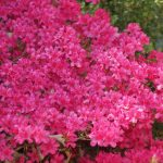 How Long Do Azalea Bushes Bloom?