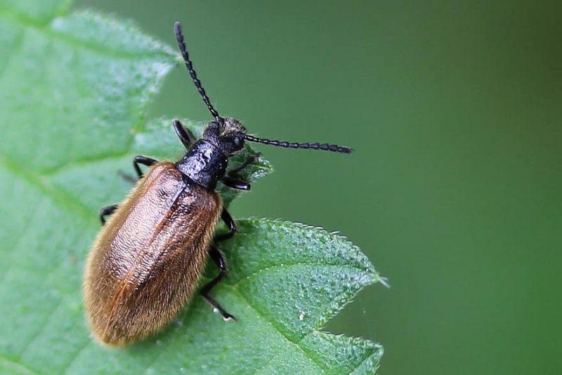 How to Get Rid of Black Vine Weevils