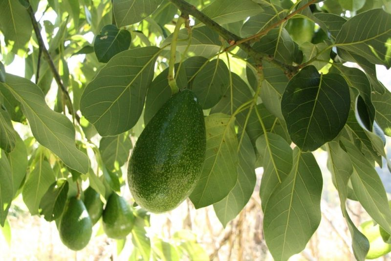 How to Start an Avocado Farm: 4 Things to Remember