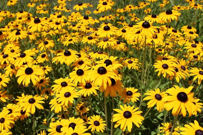 How To Prune Black Eyed Susans In The Fall