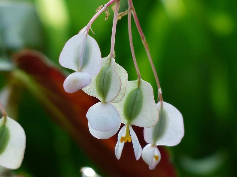 How To Collect Begonia Seeds. Best 2-Step Guide
