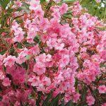 How To Propagate Oleander. 2 Best Methods