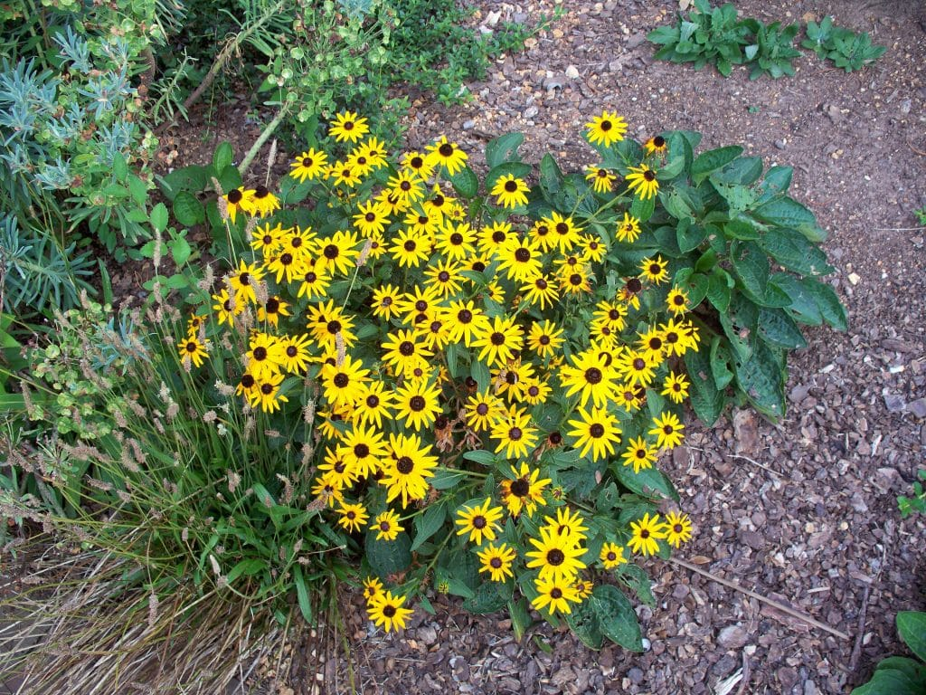 How To Transplant Black Eyed Susans In 3 Steps