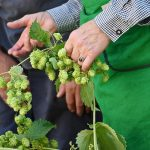 How To Harvest Hops. 2 Factors To Consider