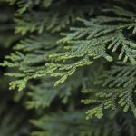 How To Propagate Thuja Green Giant. 2 Steps Only