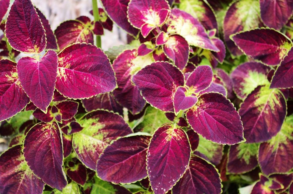 How To Propagate Coleus Plants. 2 Best Methods