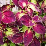 How To Propagate Coleus Plants. 2 Best Methods