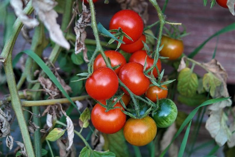 How To Grow Tomatoes In Texas: The Basics