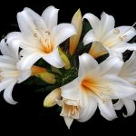 How To Plant Easter Lily