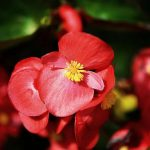 How To Keep Begonias Blooming